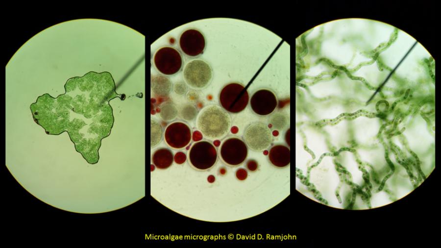 Microalgae under the microscope
