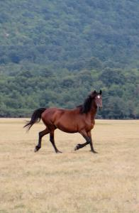 A unique breed of horses road freely on Mundunur's lands.