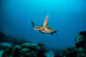 sea-turtles-swimming-in-the-ocean
