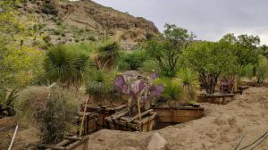 Desert cacti and succulents dug up in Scottsdale, AZ and moved to Boyce Thompson Arboretum so they would be saved.