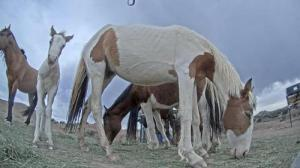 This photo shows wild horses and a foal enjoying alfalfa at the Wildlife Protection Management feeding station.