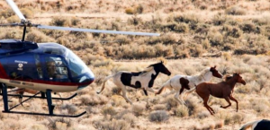 BLM Helicopter Wild Horse Roundup