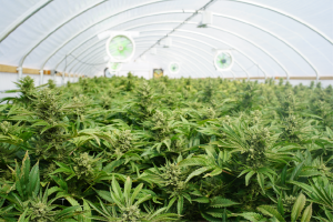 Large cannabis cultivation facility