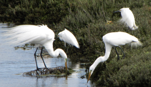 Egrets enjoying life at Ballona Wetlands, unaware there is a plan to destroy their home
