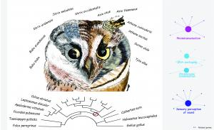 Drawing of a composite of an owl, with different slices showing 11 different owl species. On the side are network trees where dots represent genes and are connected to each other with lines. Three networks are shown, labeled phototransduction, acoustic pe