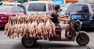 Dead and live animals are transported in unsafe conditions