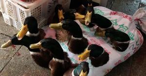 12 ducks crammed into sack