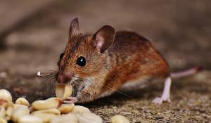 Rodent Control Greater Los Angeles Area