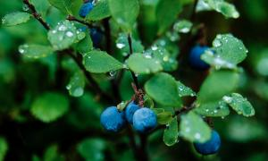 Bilberries are a valuable source of brain health support