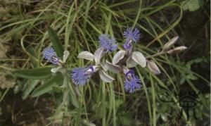 Polygala tenuifolia (Yuan Zhi)