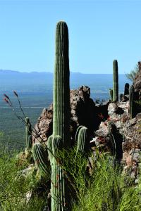 A Saguaro cactus grows on the side of a mountain