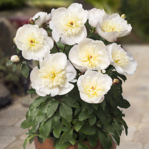 Paeonia lactiflora - White Peony Root - Linden Botanicals