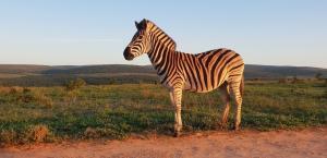 a lone zebra - some species of zebra are facing population pressure