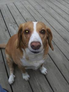 A brown and white hound mix dog sitting on a deck looking up at the camera.
