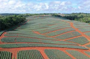 Colorada Fresh Pineapples farm in La Chorerra, Panama