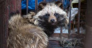 A wild raccoon anxiously awaits slaughter in a wet market.