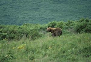 Bear waits in the brush