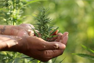 Hemp, a healing plant