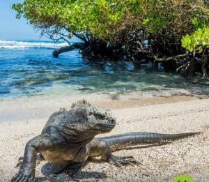 galapagos marine iguana beach cruise expedition reptile