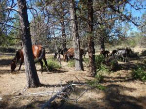 family of wild horses clearing wildfire fuels off a forest floor