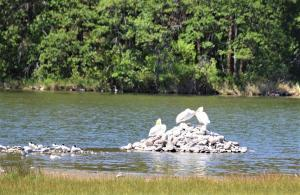 Photo by M. Gough shows Arctic Terns and American White Pelicans at their habitat on Copco Lake on the Klamath River