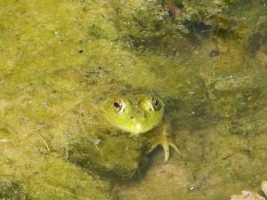 A bright green frog is seen hiding along with fish fry in the aquatic vegetation of Copco Lake on the Klamath River