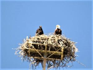 An eagle's nest on the shore of Copco Lake provides access to open-water hunting and prey on and around the lake