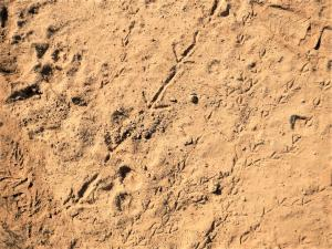 Animal tracks in the Ward Canyon ecosystem, a small example of biodiversity created by large bodies of fresh water at Copco and Iron Gate Lakes