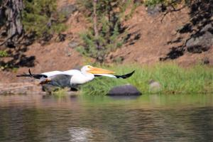 The mirgratory American White Pelican has critical habitat on Copco Lake (formed by Copco 1 dam). They are protected under law (AB-454) in California. Photo: M. Gough