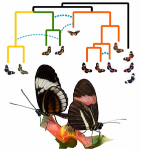 Phylogenetic tree showing gene flow, with an image of two different butterfly species mating on a flower