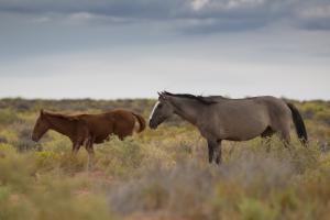 Photo Utah wild horses