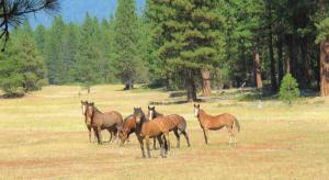 A family of native species American wild horses has symbiotically reduced grass and brush wildfire fuels, producting a natural fire-break that protects a forest and the wildlife therein.