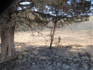 Horse droppings near a Juniper tree used by wild horses for shelter has survived a castrophic wildfire. The horses removed fuel under the tree and scratched-off the low limbs (aka: fire-ladders) making the tree fire-resistant