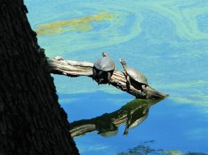 Western Pond Turtles: a species