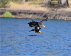A Golden Eagle is seen fishing on Copco Lake. Both Bald and Golden Eagles, being large raptors require areas of open-water to catch the fish they eat. Photo: M. Gough