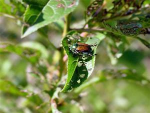 Japanese Beetle Damage to plants