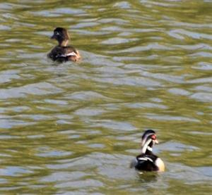 A pair of beautiful Wood Ducks at Copco Lake. Copco and Iron Gate lakes provide critical habitats for a myriad of flora and fauna, including migratory and resident birds. Photo: M. Gough