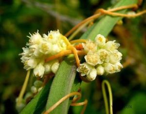 Semen cuscutae - Tu Si Zi from Linden Botanicals