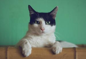 Photo of a black and white cat perched on a wood box with a green background