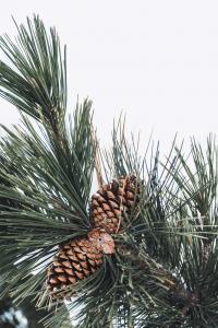 Pine Tree and Pine Needles