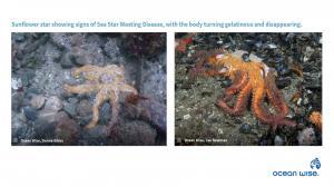 Sunflower Sea Star with Sea Star Wasting Disease