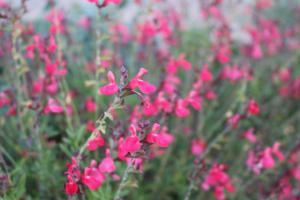 flowerkisser, sage, salvia, garden