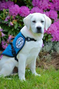 Service Dogs by Warren Retrievers SDWR