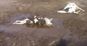 This shows dead calves in the dirt