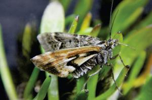 New species of endemic New Zealand moth named after James Cameron's movie Avatar and the avatars from Hindu mythology