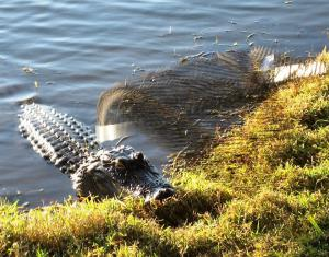 American alligator attacking Kronos Rising series author Max Hawthorne. The blurry image visible in the foreground is the landing net the author used to fend off the gator.